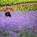 Sự tích loài hoa oải hương